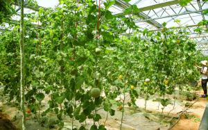 干货|设施甜瓜水肥一体化栽培技术