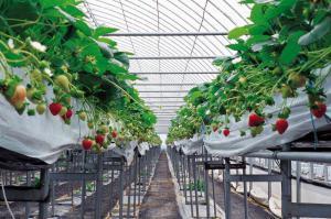 温室草莓栽培物联网智慧解决方案